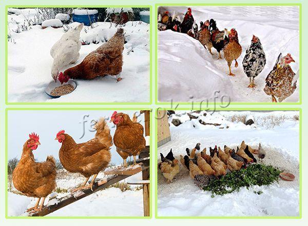 Гигиена содержания кур зимой и летом, правила и советы