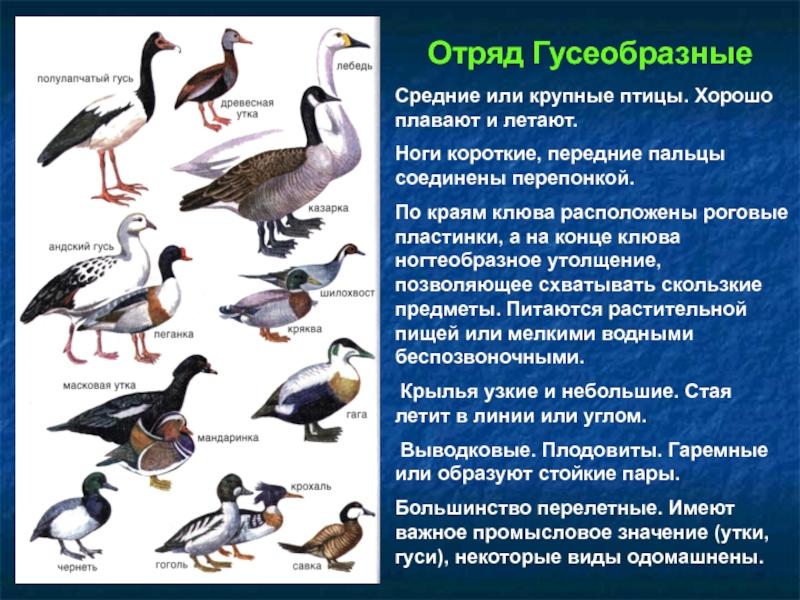 Рейнские гуси – на что обратить внимание при выращивании