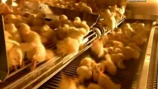 Выращивание цыплят для чайников — 10 трудностей