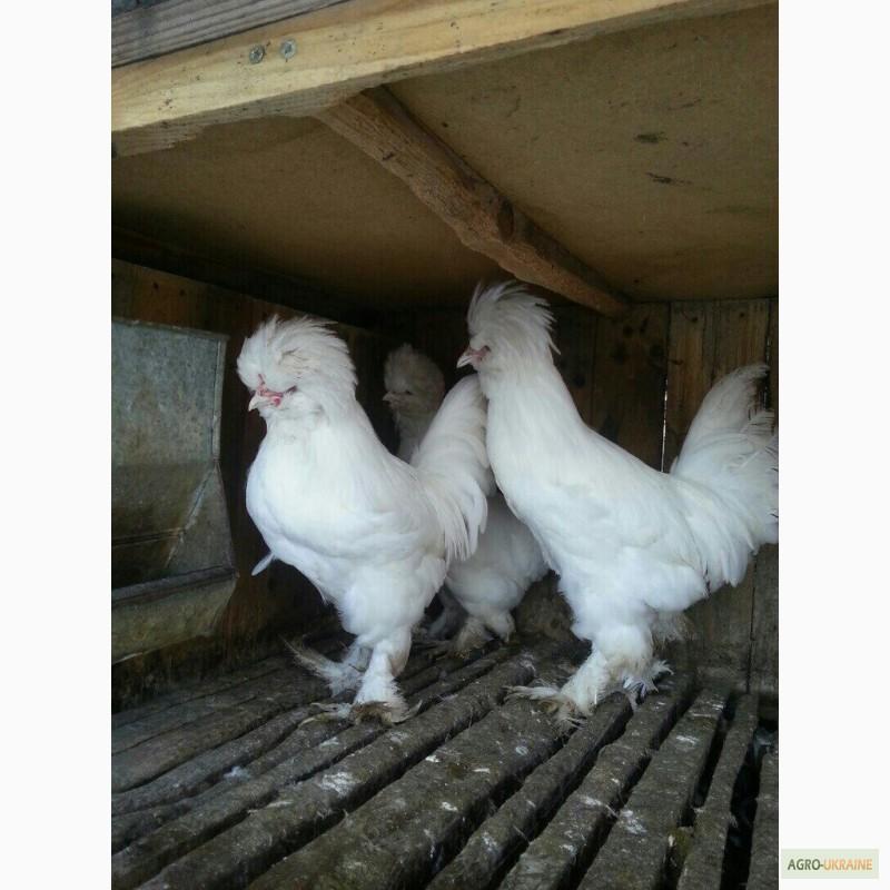 Султанка - мясо-яичная порода кур. Описание, характеристики, правила содержания и кормления, инкубация