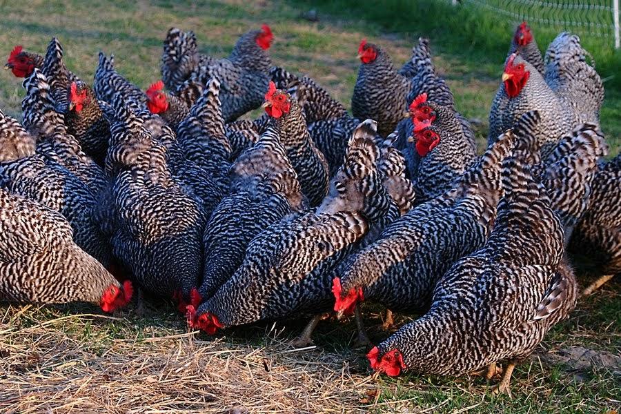 Немецкая любимица фермеров – курица Амрокс