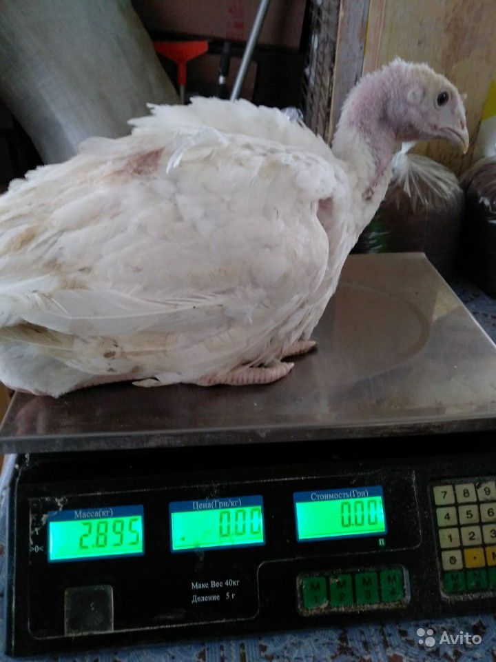 Индюки белые широкогрудые – практические советы по выращиванию, отзывы птицеводов
