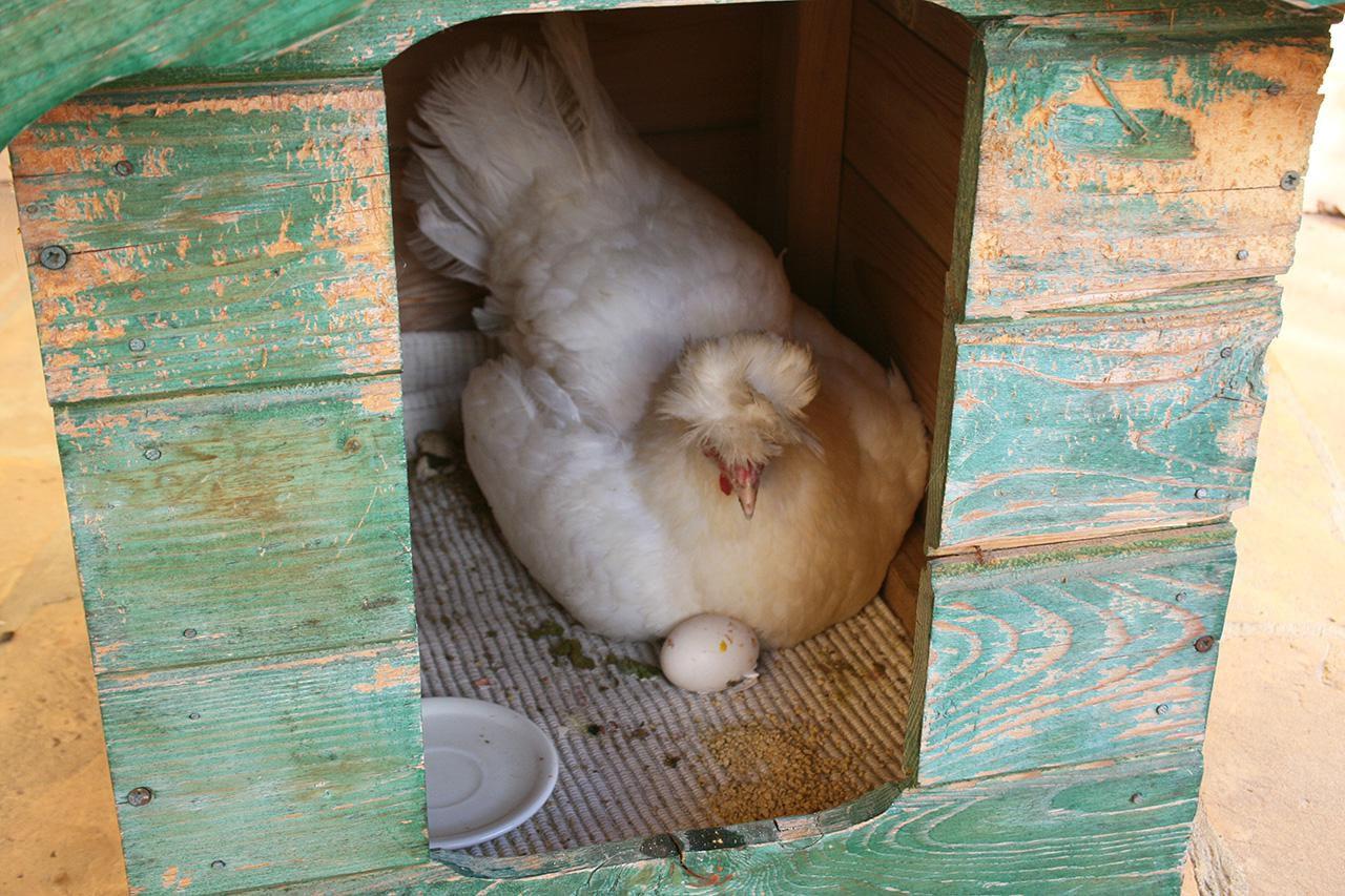 Как отучить курицу высиживать яйца?