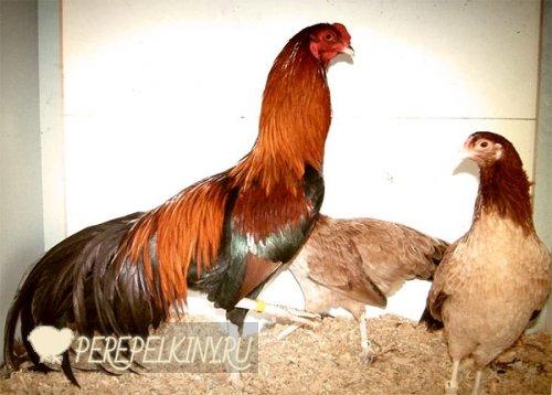 Кубалая порода кур – описание бойцовой с фото и видео