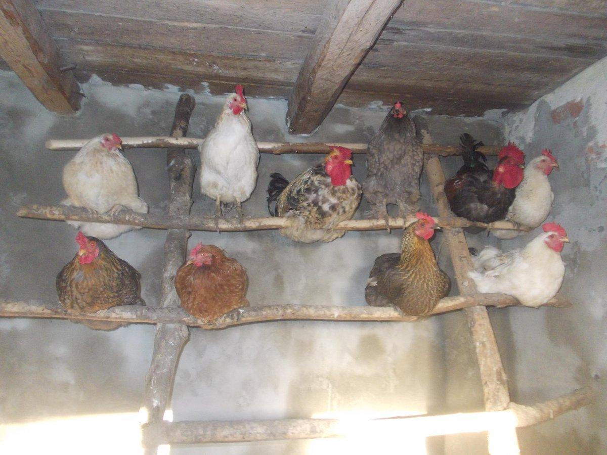 Содержание кур зимой в домашних условиях