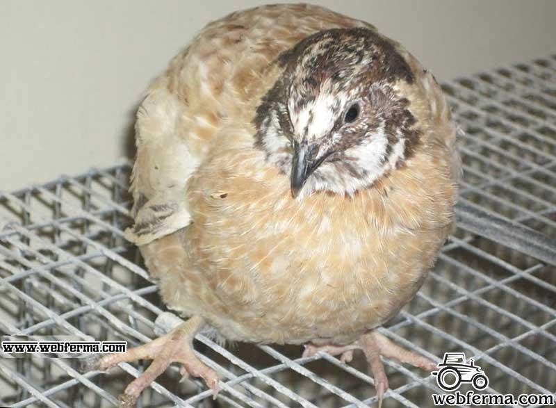 Птица для души, яиц и мяса – японские перепелки