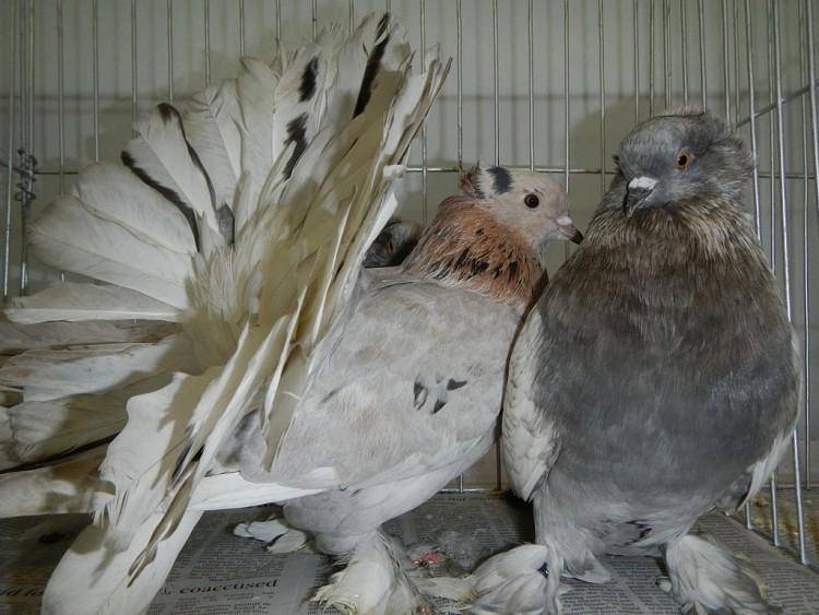 Разведение и содержание голубей в домашних условиях