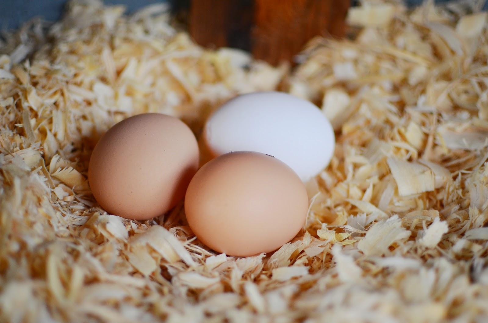 Куры Геркулес - мясо-яичный кросс. Описание, характеристики, выращивание, правила кормления, инкубация