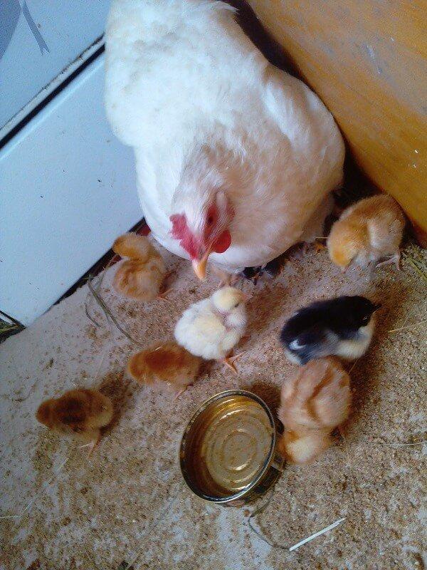 Курица села на яйца, что делать дальше? Подготовка гнезда, продолжительность высиживания и уход за несушкой
