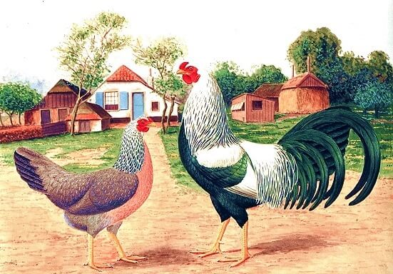 Краенкопп порода кур – описание с фото и видео