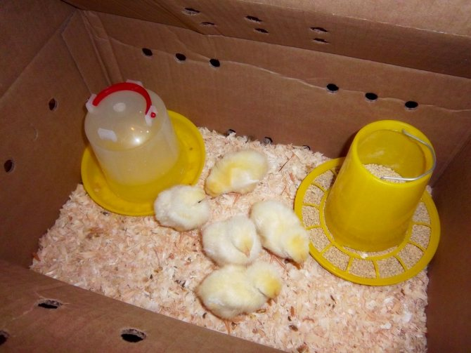 Чем кормить маленьких цыплят – от суточных до 8 недель