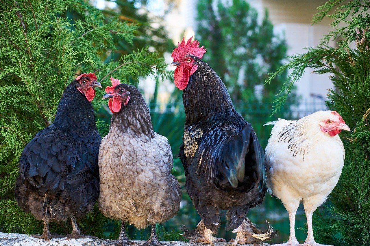 ТОП-5 пород кур для детей (в качестве домашних питомцев)