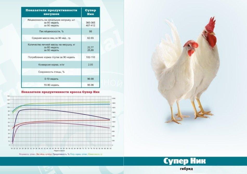 Рейтинг лучших породы кур-несушек для домашнего хозяйства: содержание, кормление, инкубация, болезни