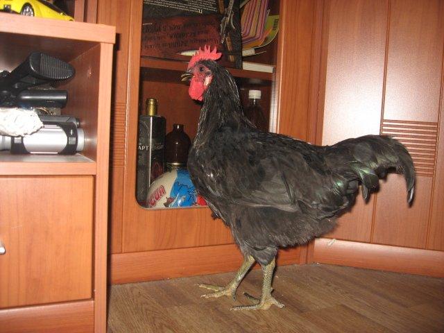 Мясо-яичная порода кур Австралорп