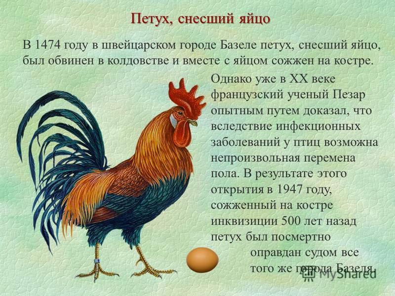Интересное про кур и петухов, факты и мифы