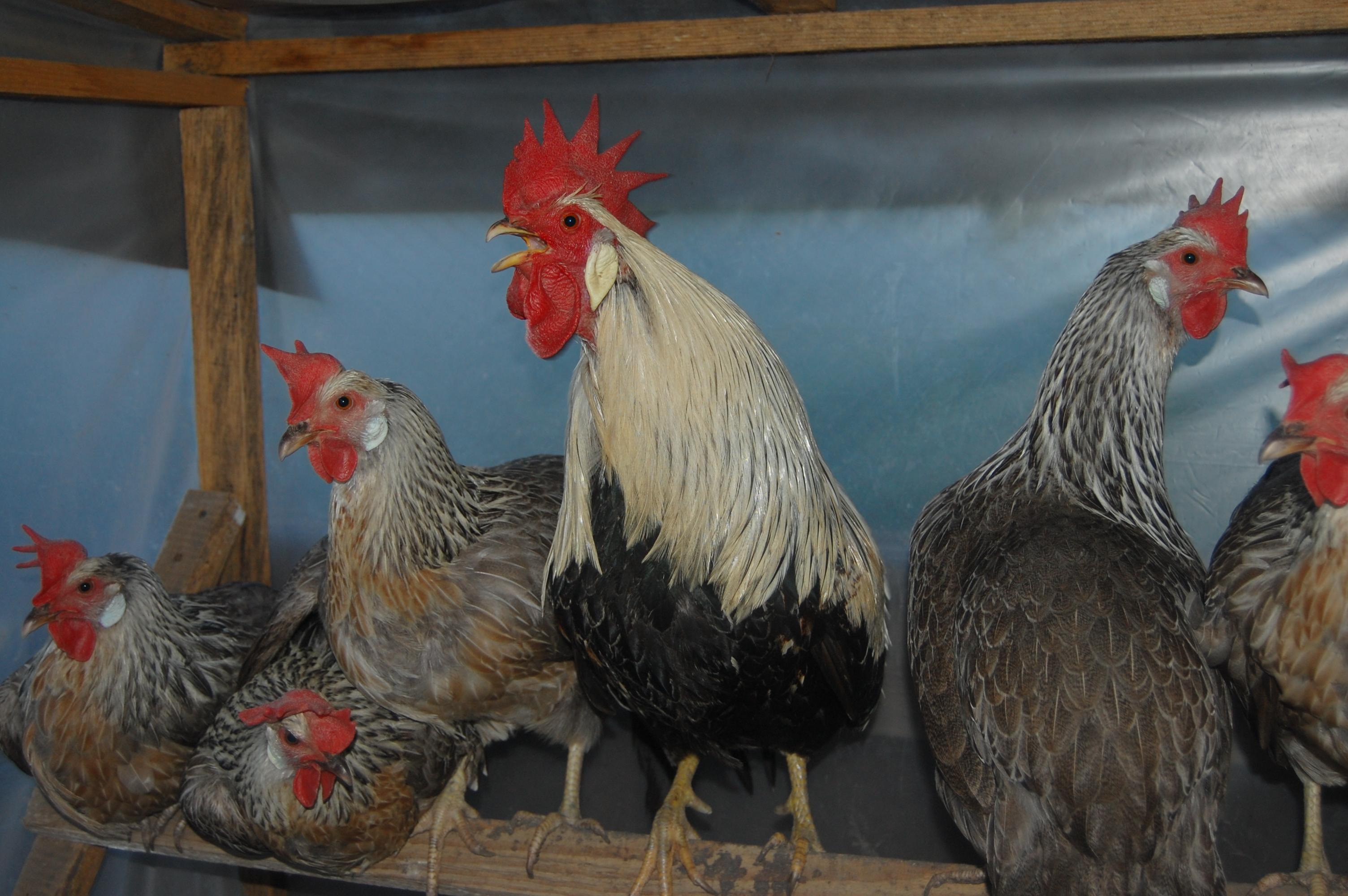 Итальянская Куропатчатая порода кур с фото и описанием