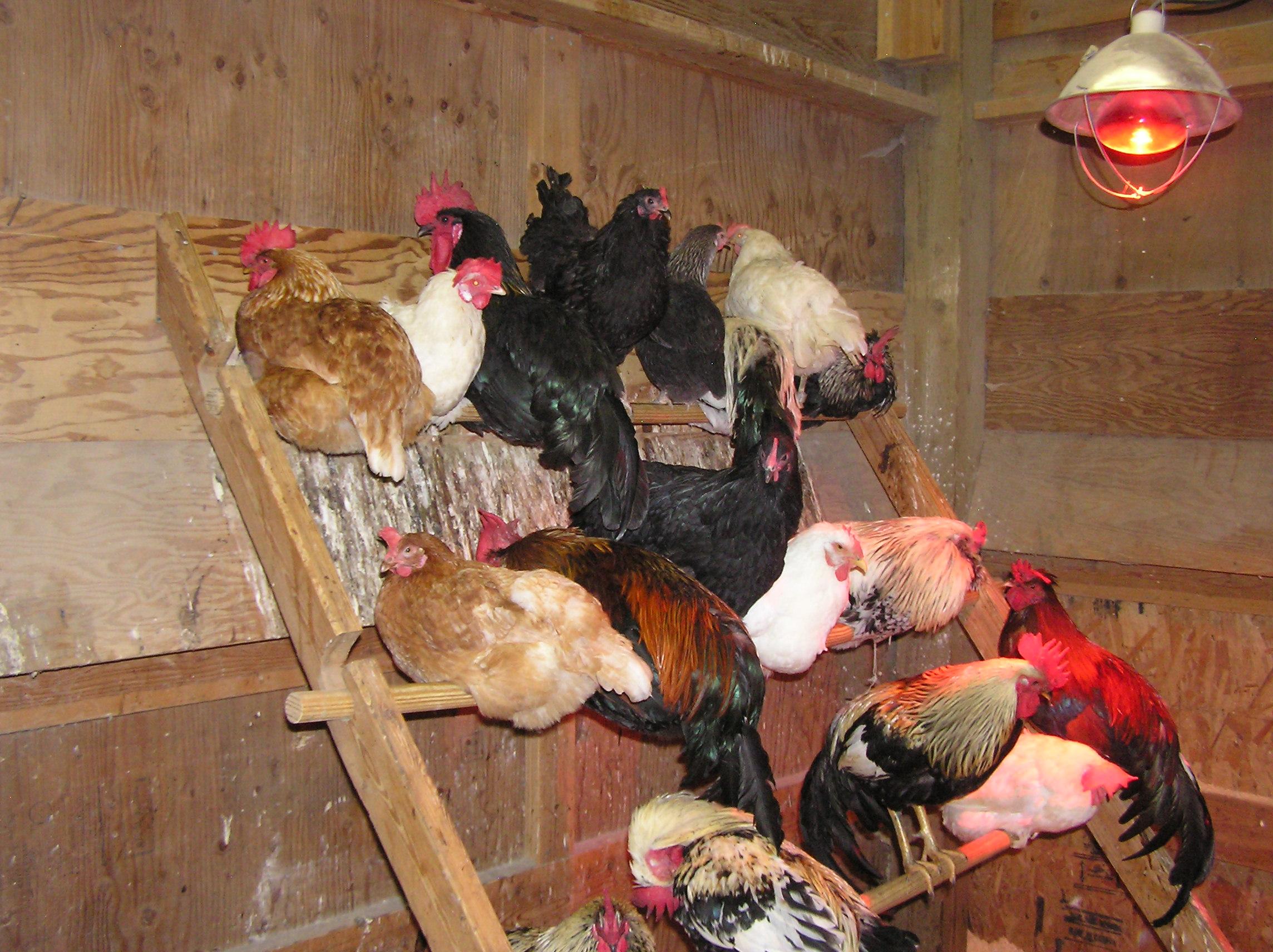 Каких домашних птиц выгоднее содержать по корму?
