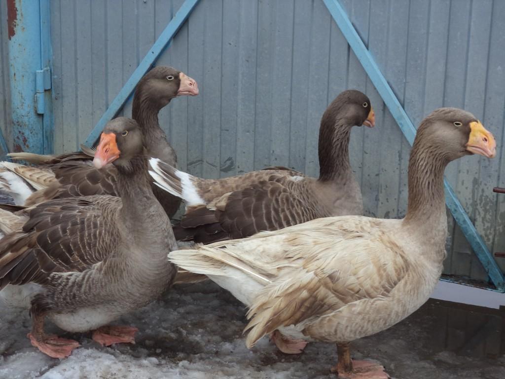 Тулузские гуси – описание породы, достоинства и недостатки