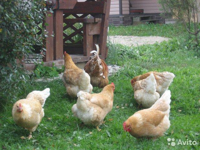 Мини-куры мясные и яичные, зачем они нужны?