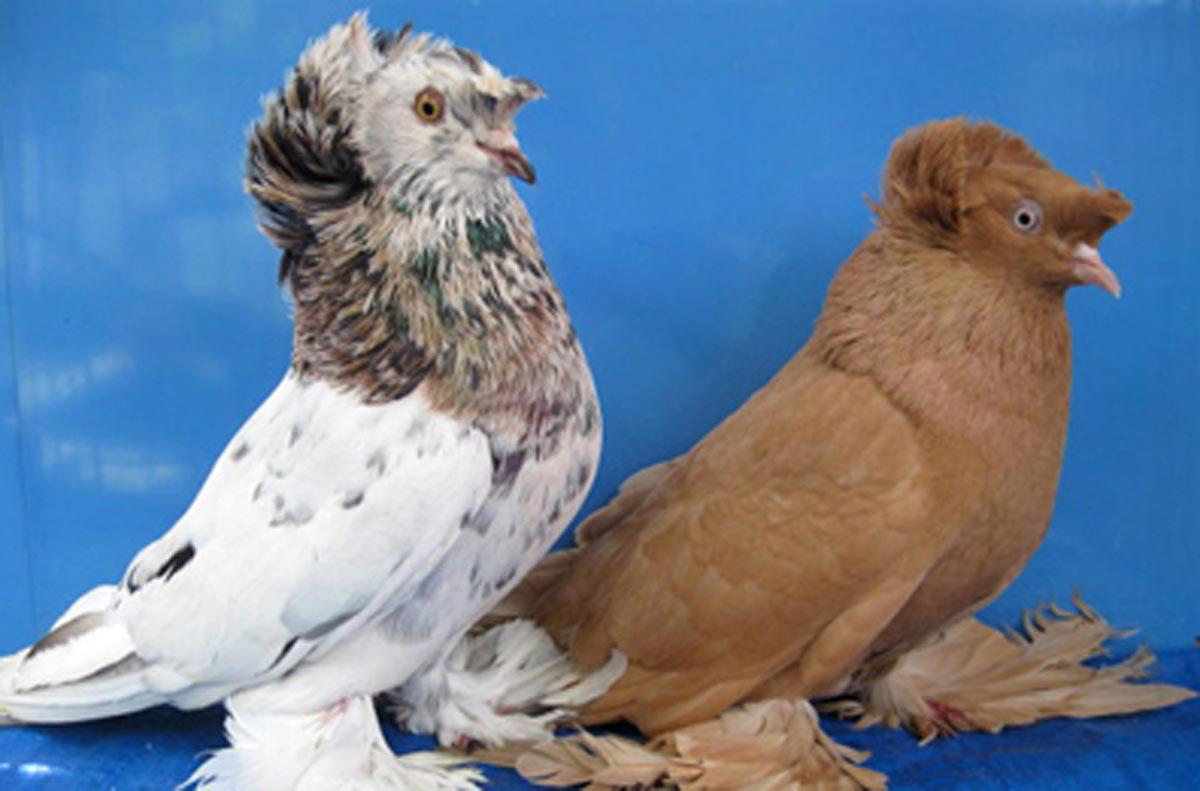 Породы голубей: самые известные представители четырех основных породных групп