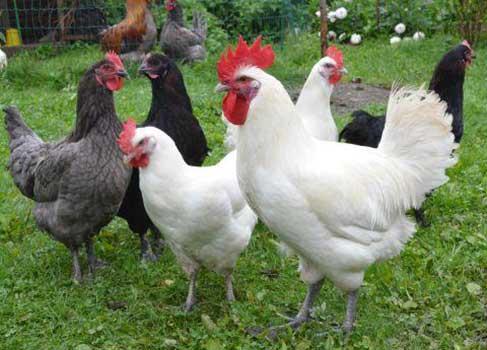 Бресс-галльская порода мясо-яичных кур: особенности характера, рекомендации по содержанию, кормлению, разведению