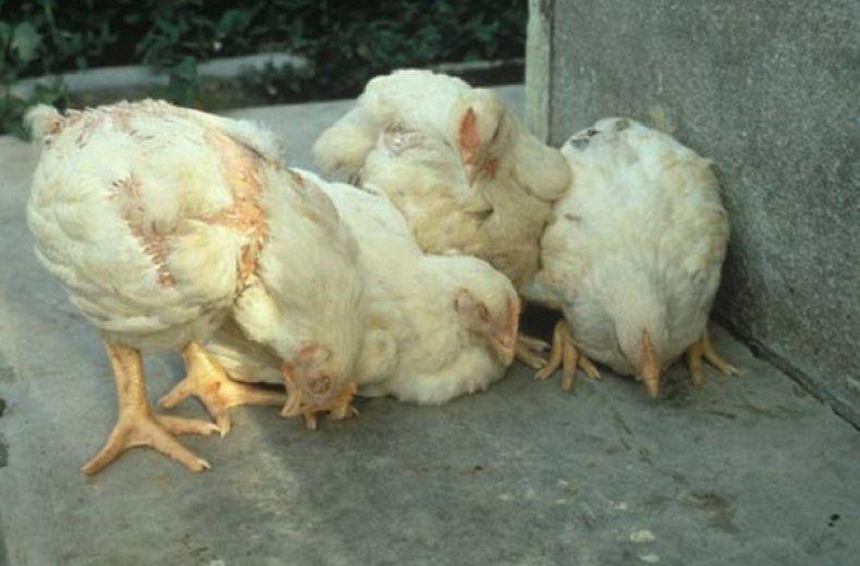 Курица не ест и сидит вялая: что делать и в чем может быть причина?