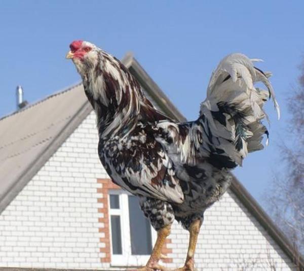 Орловская порода кур — описание, фото и характеристики