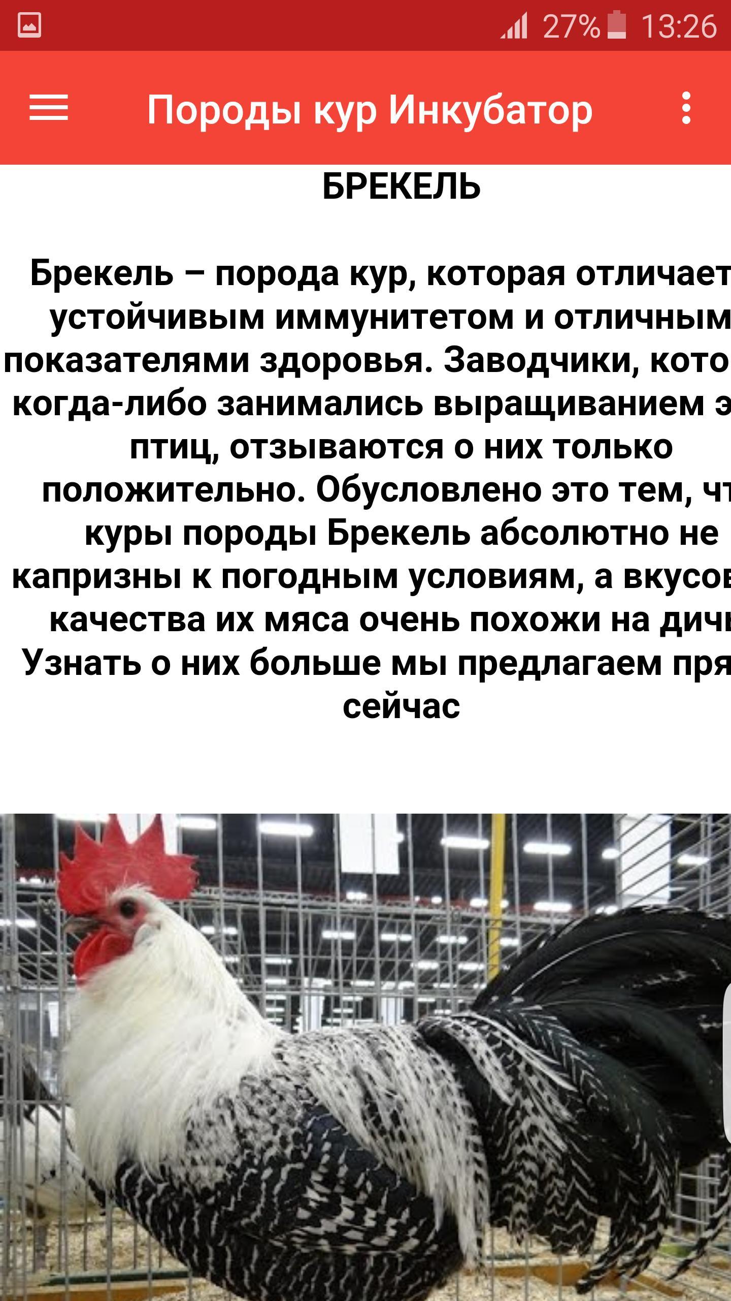 Старейшая курица яичной направленности Брекель