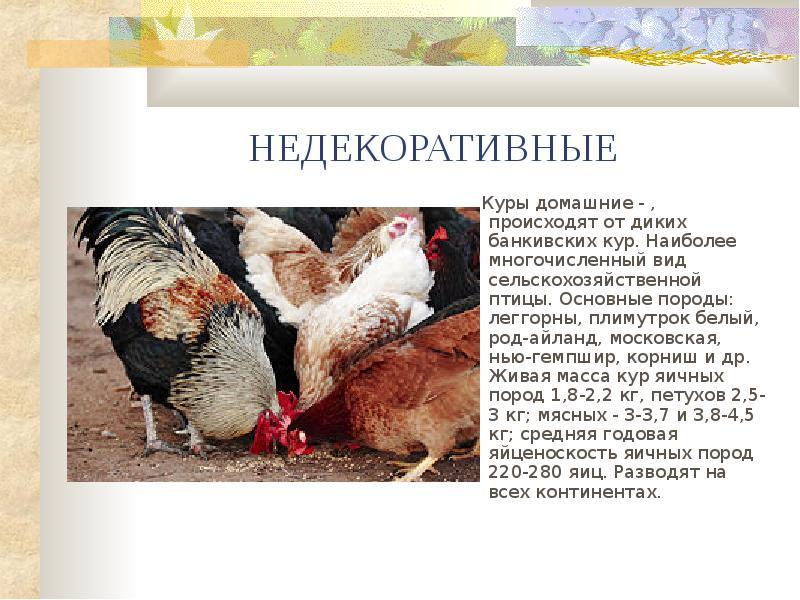 Курица - это птица или животное, откуда появилась? История происхождения и характеристики
