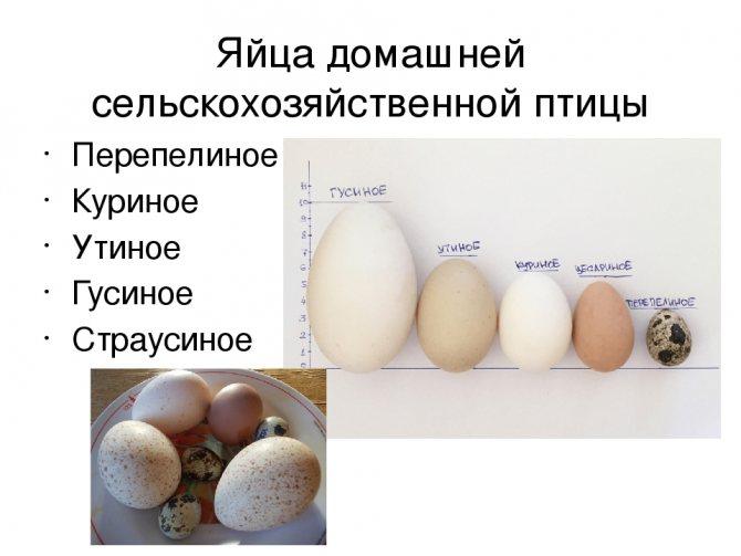 Почему курица несет мелкие яйца