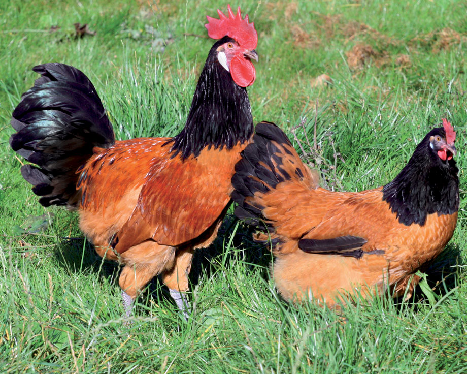 Форверк порода кур – описание, фото и видео