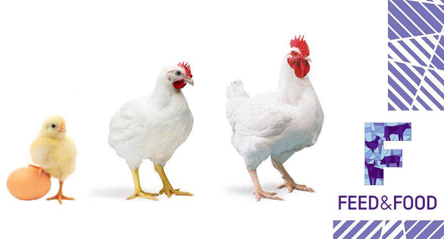 Микотоксины и репродукция птицы, снижение яйценоскости
