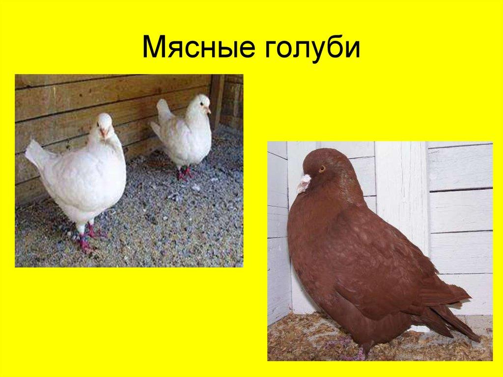 Мясные породы голубей