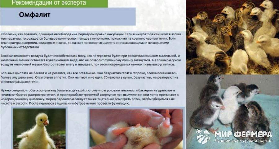 Болезни цесарок – причины и профилактика наиболее распространенных