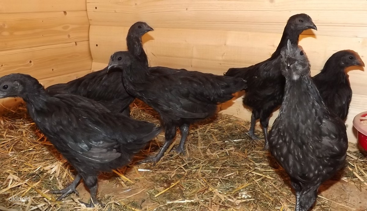 Черные куры Аям Цемани – уникальная порода родом из джунглей