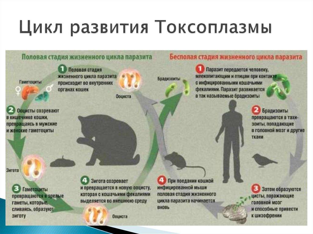 Болеют ли куры коронавирусом и способны ли они заразить человека?
