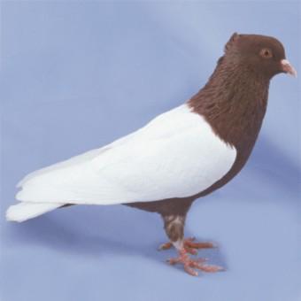 Снегири – декоративная порода голубей. Особенности и характеристики