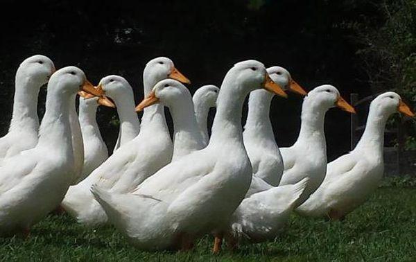 Скороспелые и продуктивные утки Черри-Велли