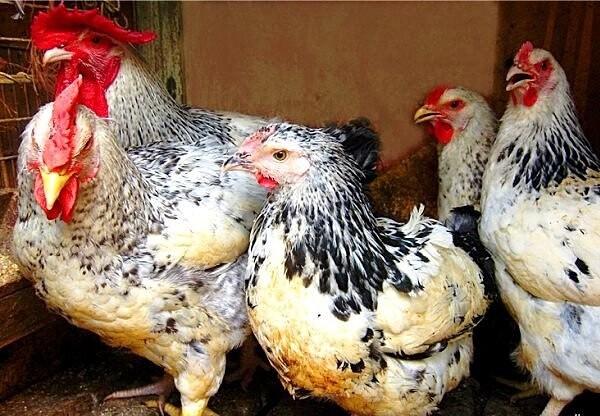 Эльзасская - мясо-яичная порода кур. Описание, характеристики, содержание и разведение, кормление, отзывы