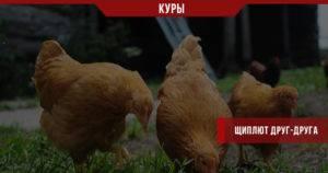 Почему куры щипают друг у друга перья и их едят