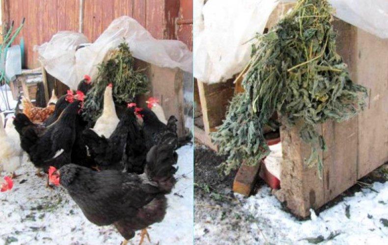 Какая температура должна быть в курятнике зимой, чтобы куры продолжали нестись?