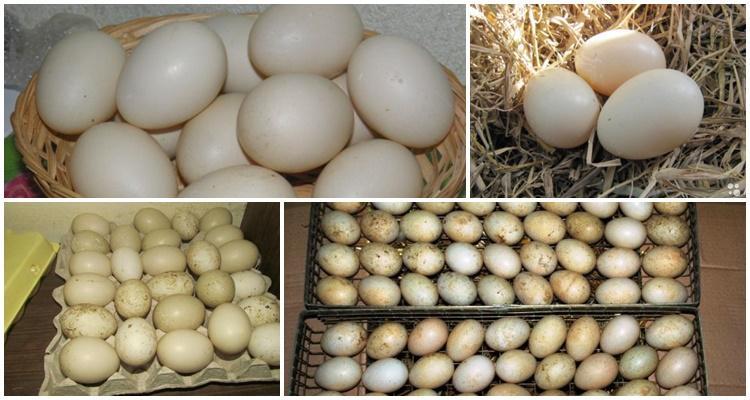 Какое количество яиц высиживает индоутка?