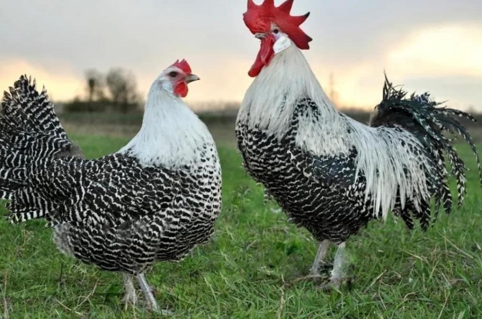 Аппенцеллер - мясо-яичная порода кур. Описание, разведение и выращивание, кормление, инкубация