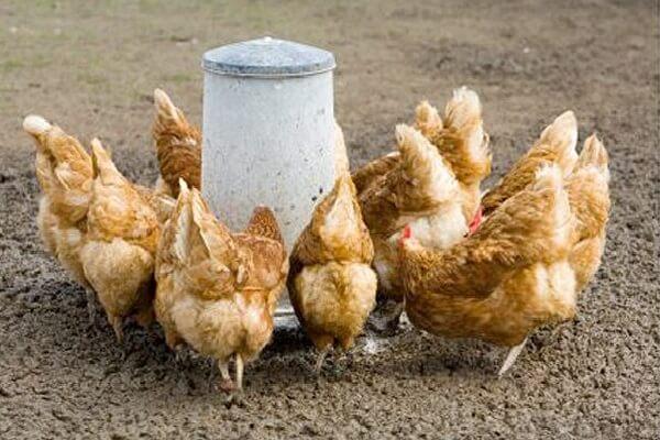 Кормление кур отрубями – в чем польза для несушек?