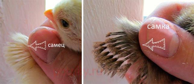 Как отличить курочку от петушка и как определить пол цыпленка