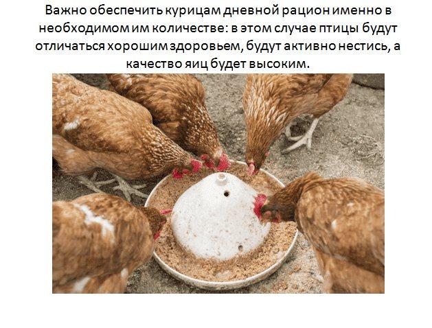 Сколько яиц несет курица в день и как улучшить результаты