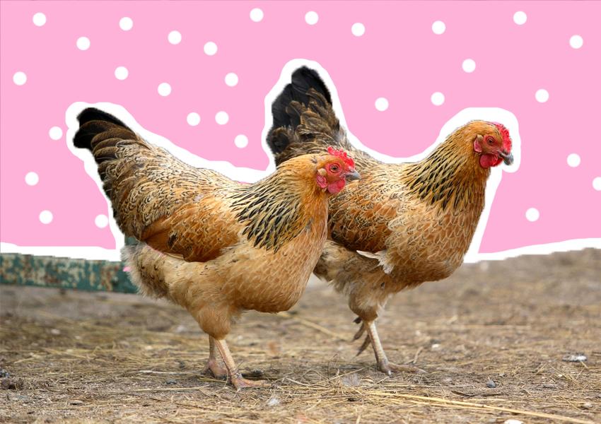 Порода яичных кур Анкона