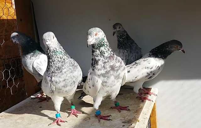 Лучшие высоколетные голуби – Пакистанские
