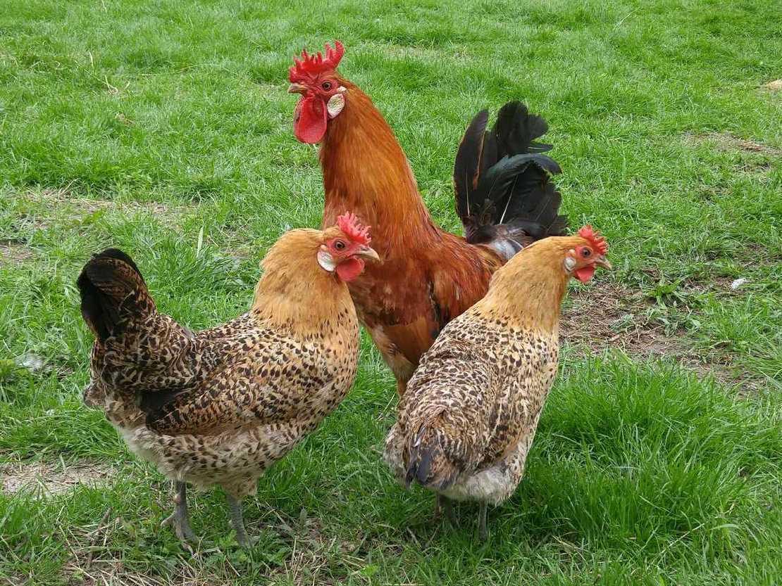 Сицилийский Баттеркап порода кур – описание с фото и видео