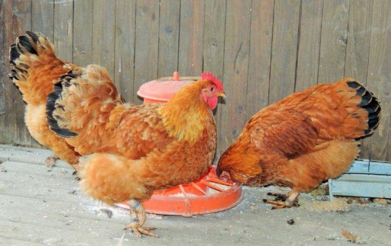 Нью Гемпшир порода кур – описание, фото и видео